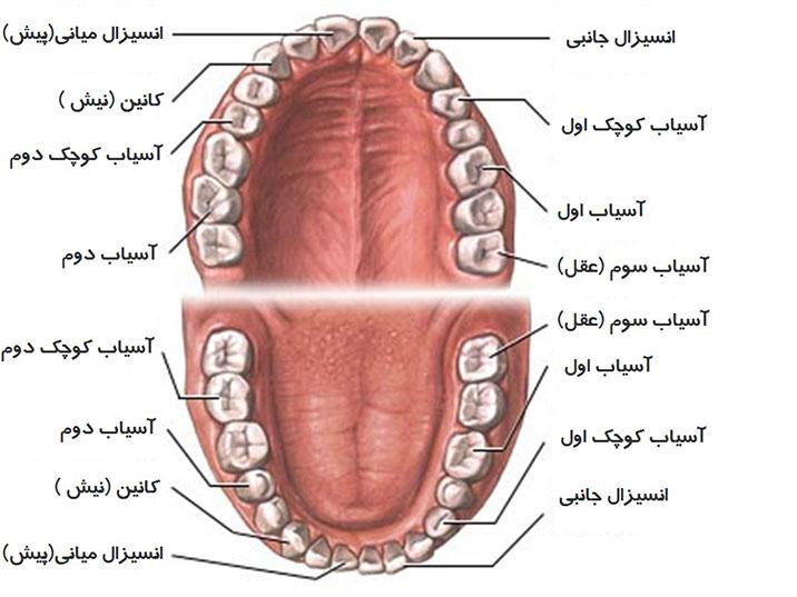 اسامی انواع دندان